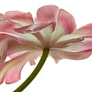 Tulip Dancer by Ann Garrett