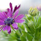 Purple Mum by scenicvibephoto