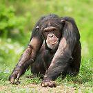 Chimpanzee by Dominika Aniola