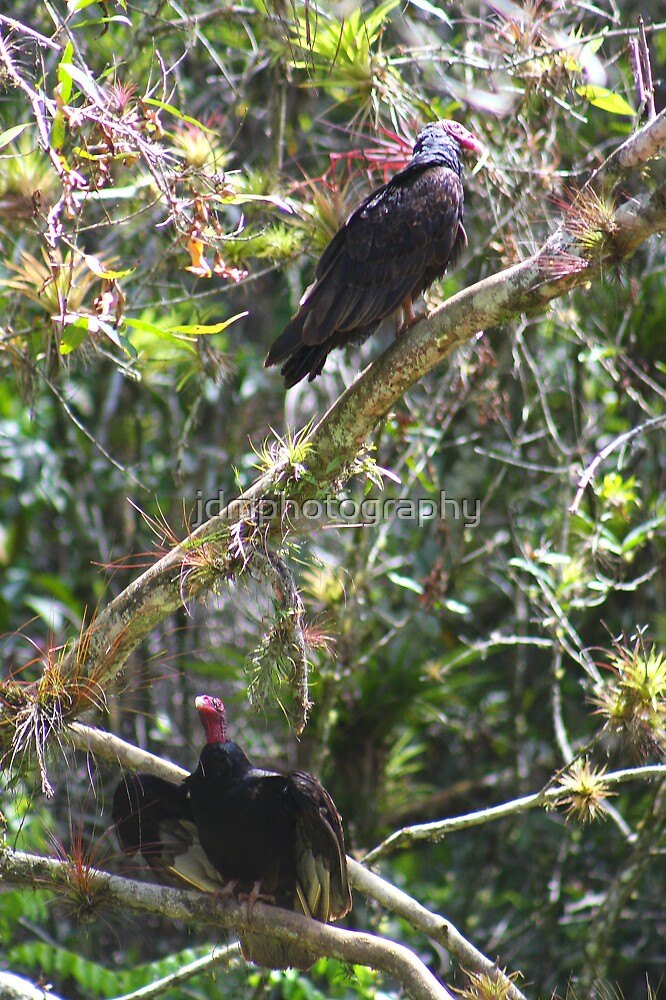 Turkey Vultures (Cuba) by jdmphotography