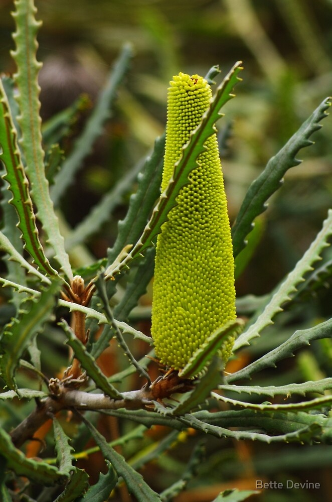 Banksia pilostylis by Bette Devine