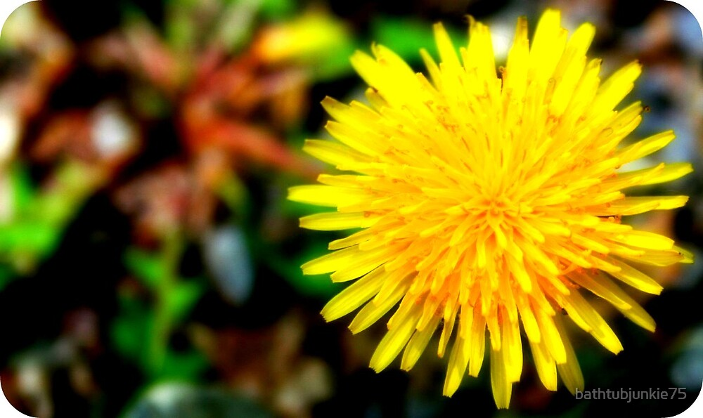 [top view of dandelion] by bathtubjunkie75