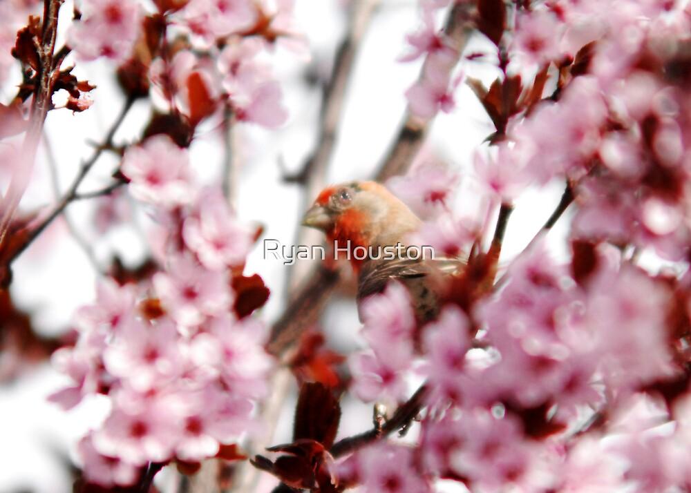 Finch in  Plum Tree by Ryan Houston