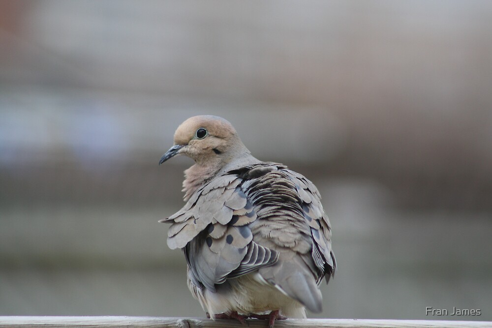MORNING DOVE by Fran James