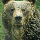 Eurasian Brown Bear by Dominika Aniola