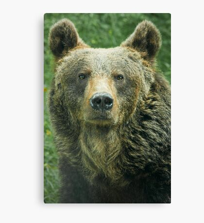 Eurasian Brown Bear Canvas Print