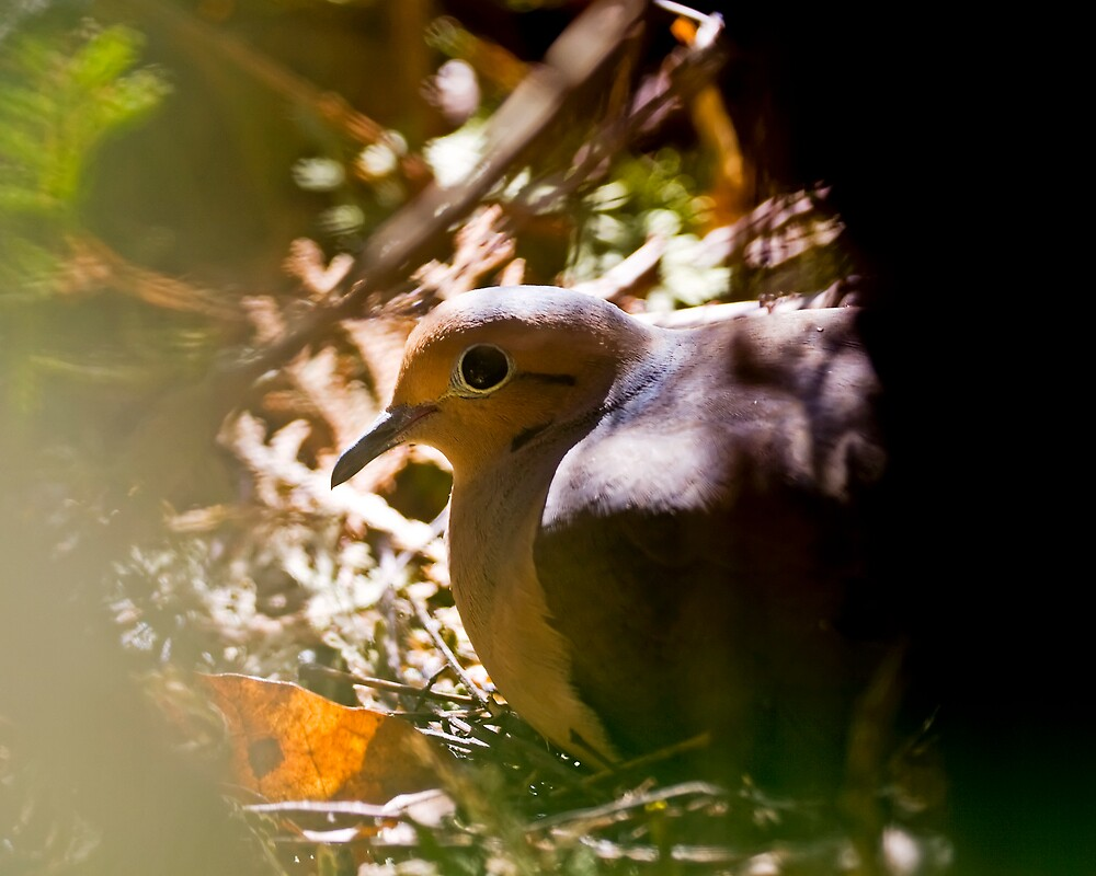 Mourning Dove by StephenCoyle