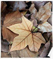 Fallen - Autumn Leaves in Oakbank Poster