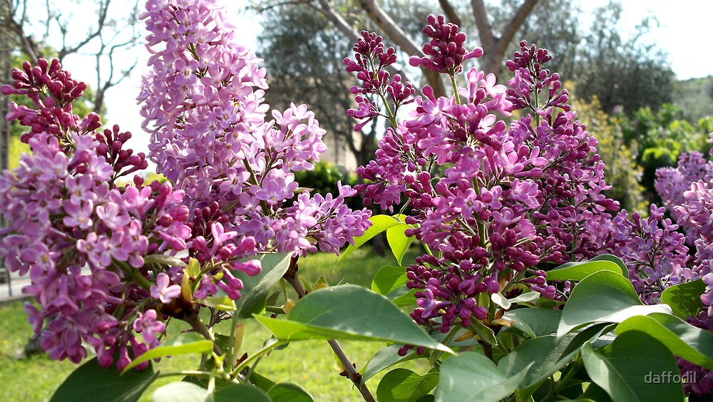 Sweet smelling lilac by daffodil