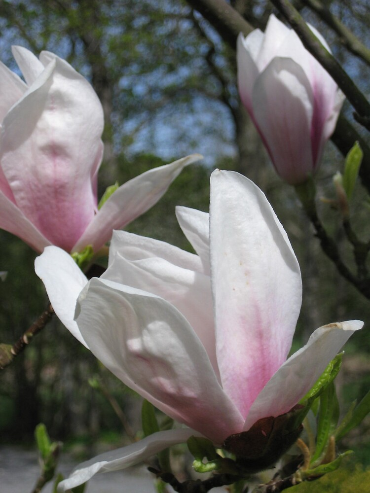 Magnolias by helenahlg