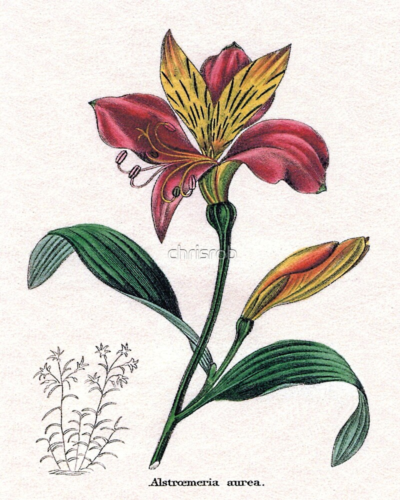 Alstroemeria aurea or Golden-flowered Alstroemeria by chrisrob