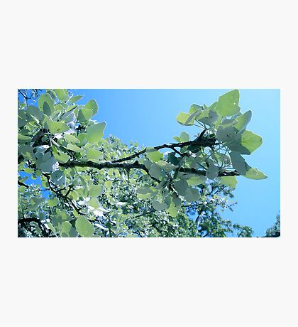 Branch of silver birch-tree. Photographic Print