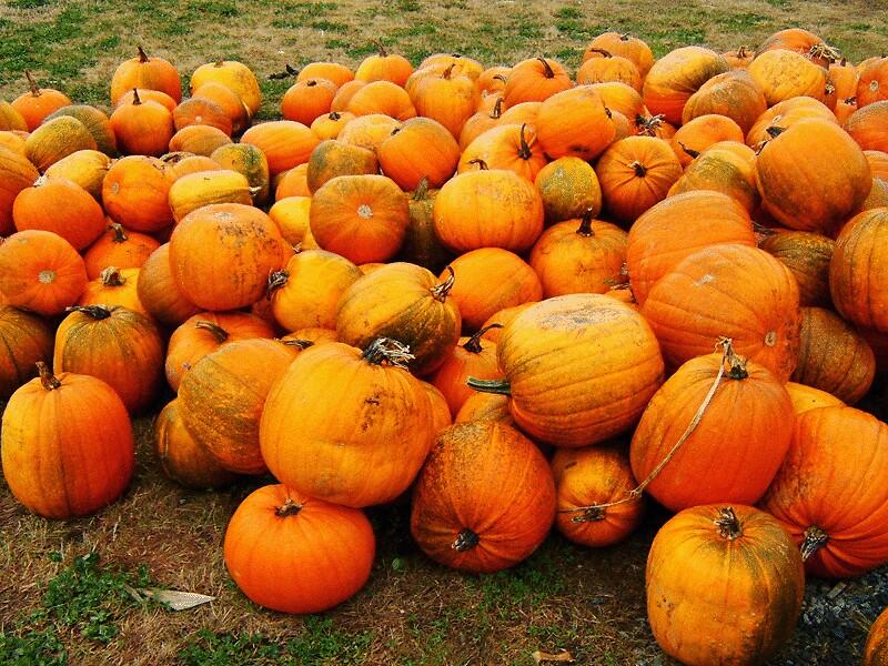 Pumpkins by Stephanie  Williams