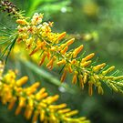 Persoonia pinifolia. by Bette Devine