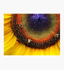 Sunflower, Seeds & Bees Photographic Print