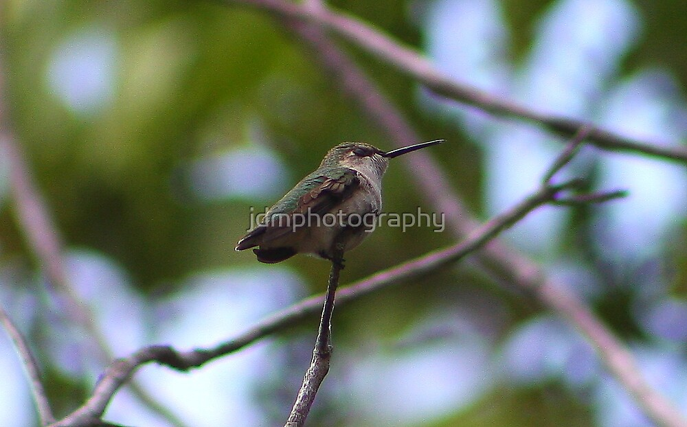Hummingbird Perched (Cuba) by jdmphotography