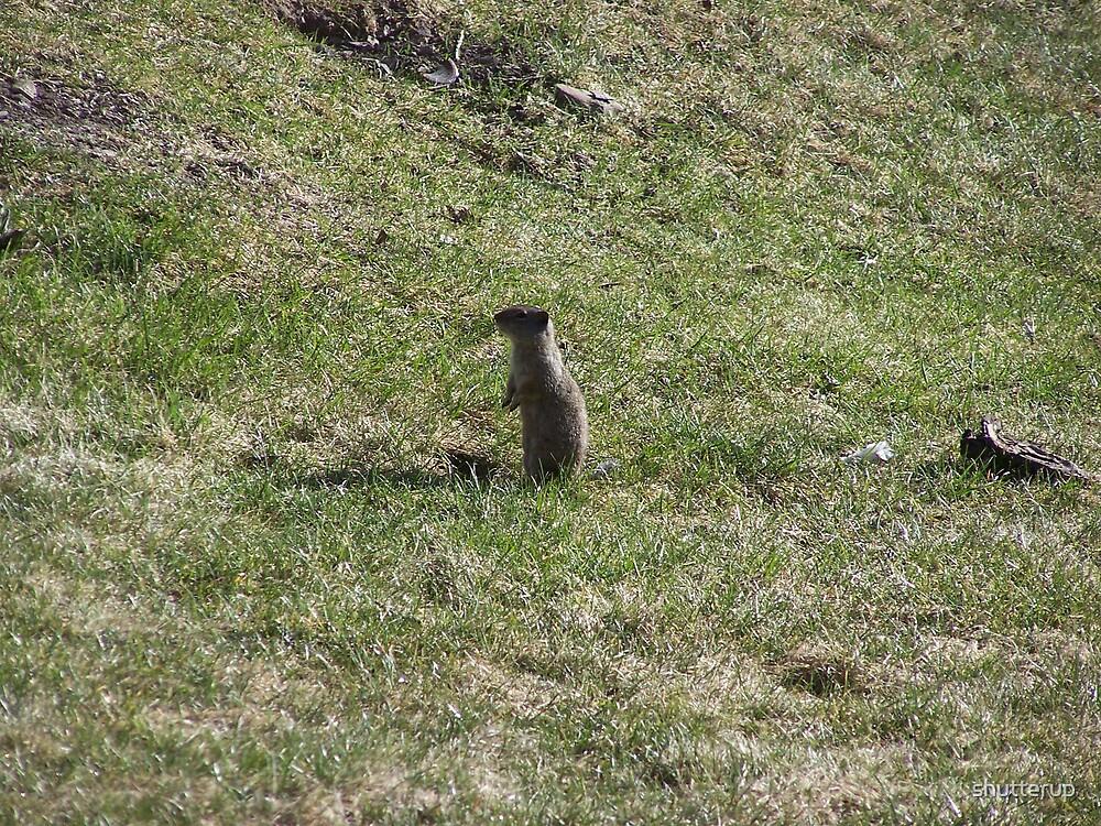 Groundhog by shutterup