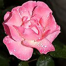 Wet garden rose  by allaballa
