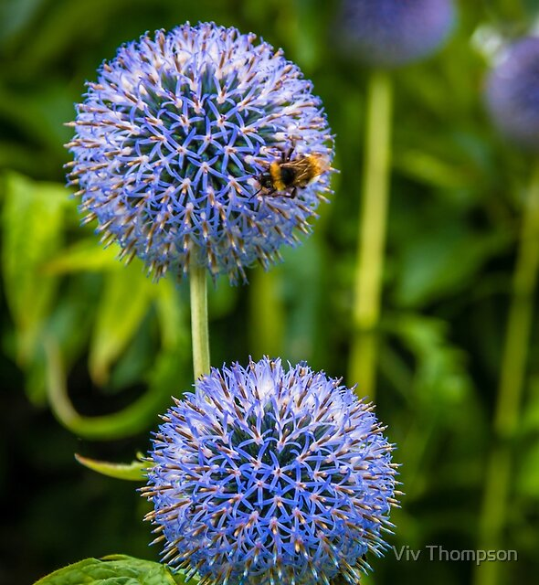 Bee & Echinops by Viv Thompson