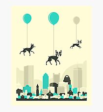 Flock of Boston Terriers Photographic Print