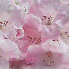Pink Froth Rhododendron by jacqi