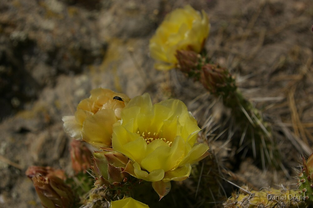 Rocky Mountain Prickly Pear Cactus by Daniel Doyle