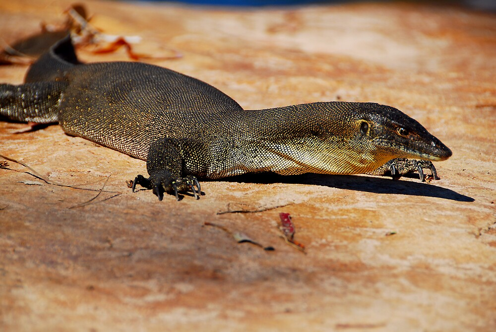 Merten's Water Monitor by chriso