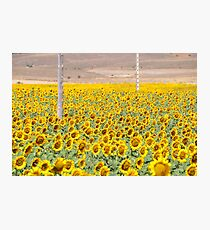 SUNFLOWERS, SUNFLOWERS Photographic Print