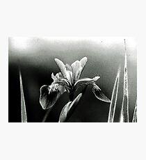 The Blue Flag Iris, Iris versicolor Photographic Print