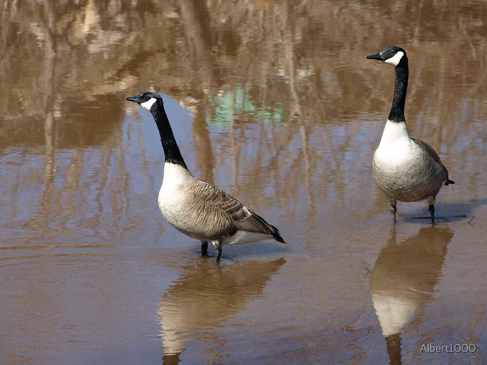 NC Canadian geese by Albert1000