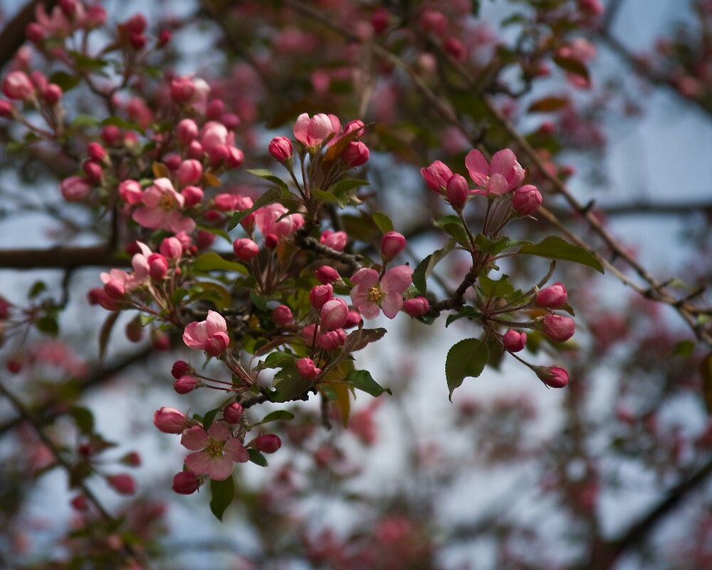 Spring Blossoms by greyrose