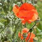 The End of Poppy Season by Navigator