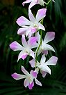 Soft Orchids by Dave Lloyd