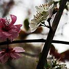Blossoms by Evita