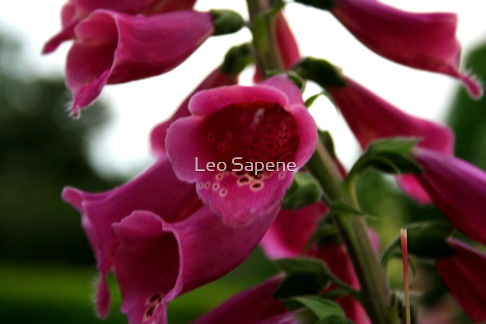 Pink Foxglove by Leo Sapene