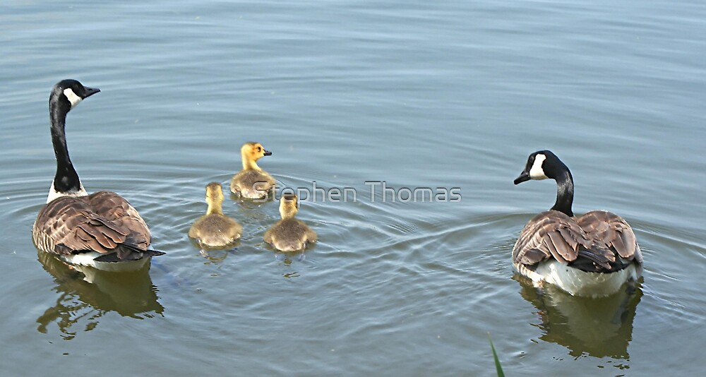 Canada Geese in training. by Stephen Thomas