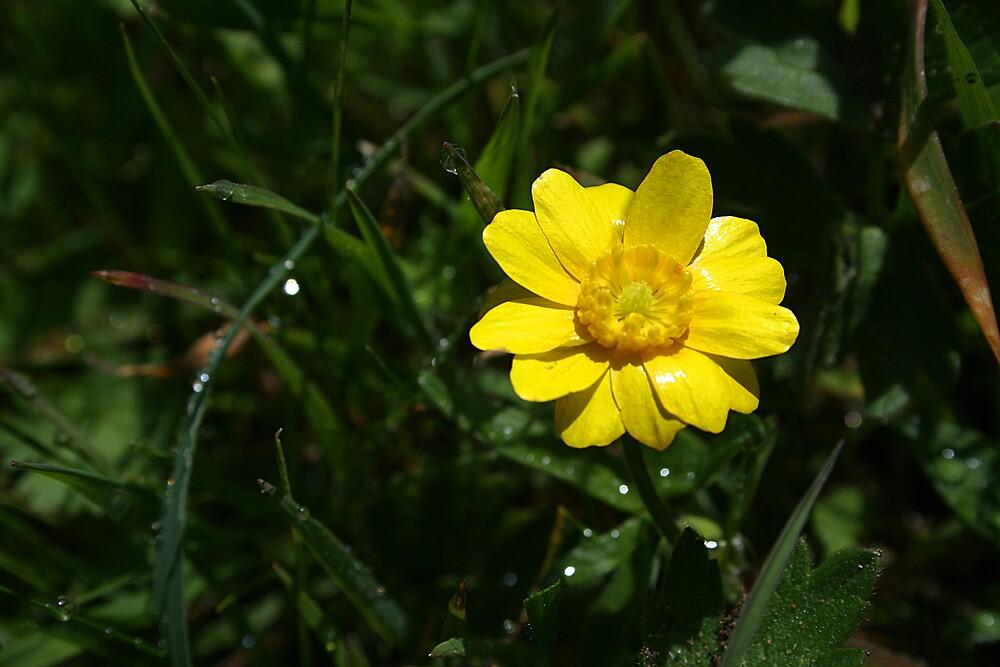 Little Yellow Flower by Ken Fortie