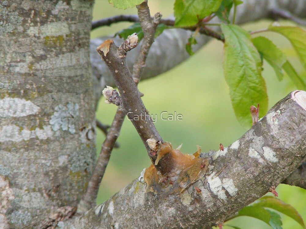 Apple Tree Grafting by Cathy Cale