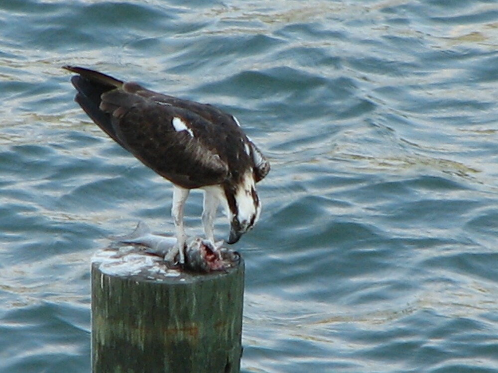 Young Osprey eating his catch by Deborah Stewart
