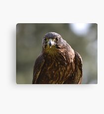 NZ Falcon- looking straight at you Canvas Print