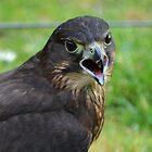 All talk -NZ Falcon by lizdomett