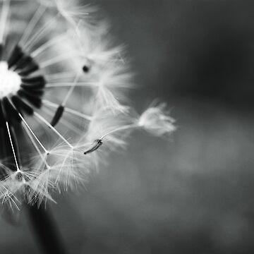 dandelion breeze by colinsart
