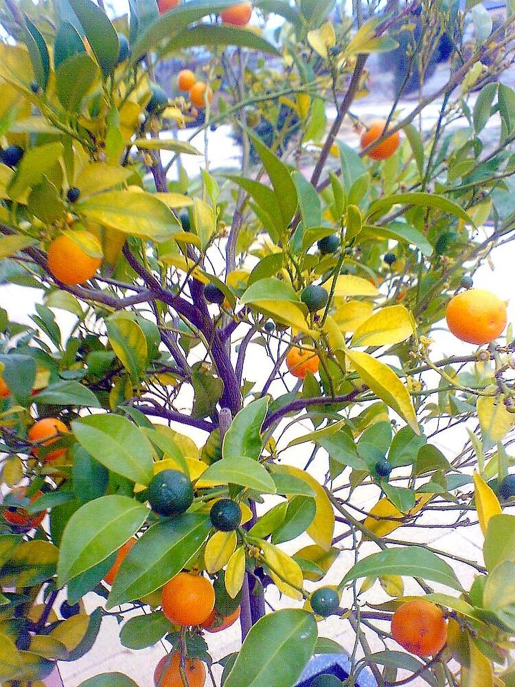 Cumquat Tree by EmmiMac