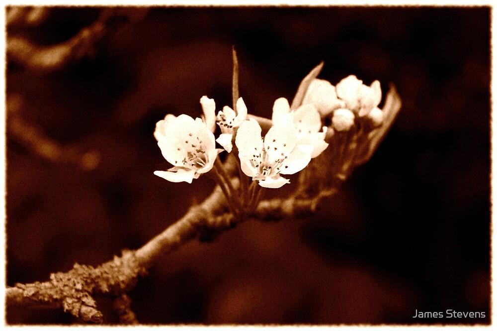 Vintage Bramley Blossom by James Stevens