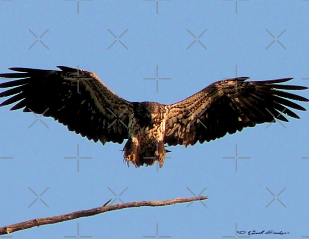 Spread Eagle by Gail Bridger