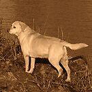 Labrador am Wasserrand von Marlene Watson