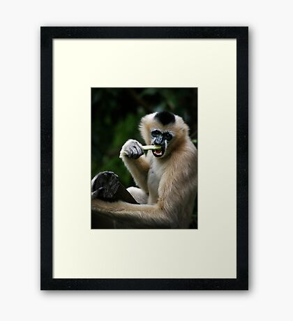 White Cheeked Gibbon Framed Print