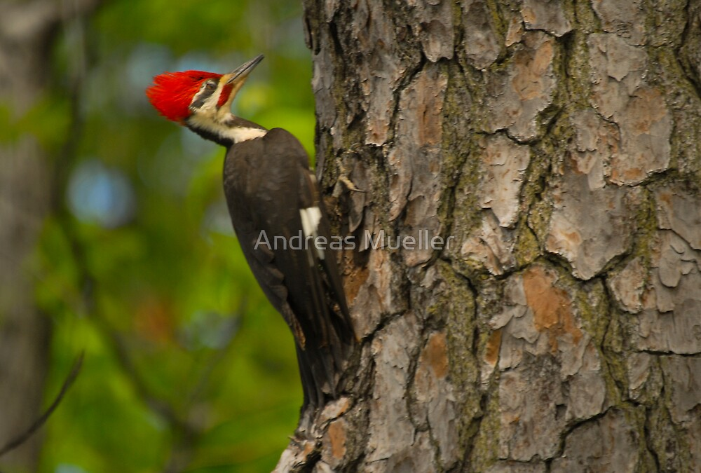 Pileated Woodpecker by Andreas Mueller