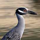 Yellow crowned night heron by Dennis Cheeseman
