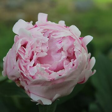 Passion For The Peony  by RosevineCottage